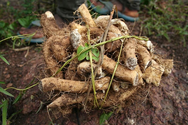 What Is Wild Yam Root? Natural Benefits For Bodybuilders